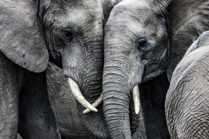 6 elephants killed by poachers in single day in Ethiopia